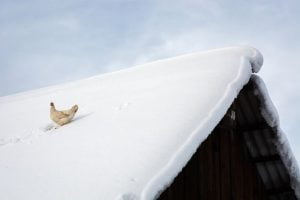 hen on the roof